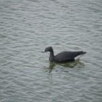Oiseau non identifié